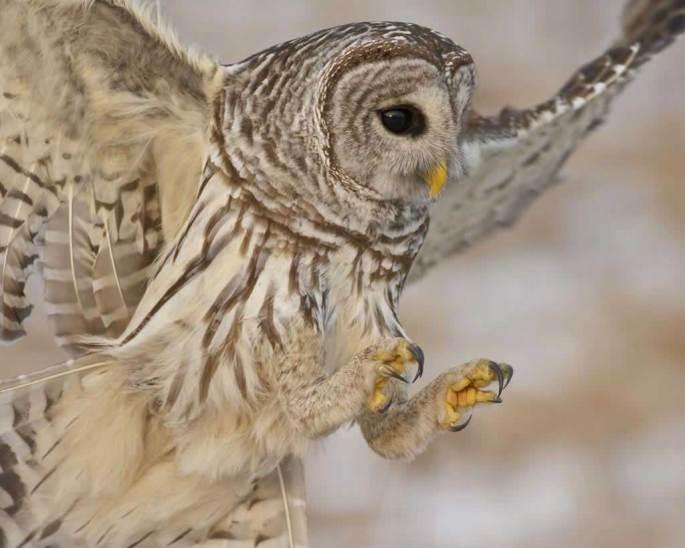 Barred_Owl_b57-12-027_l.jpg